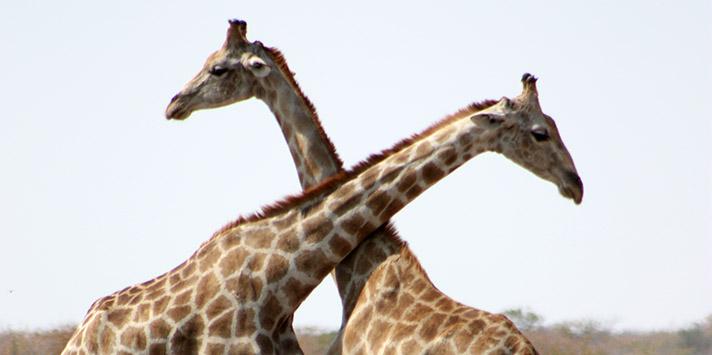 Giraffen im Etoshapark-Namibialiebe