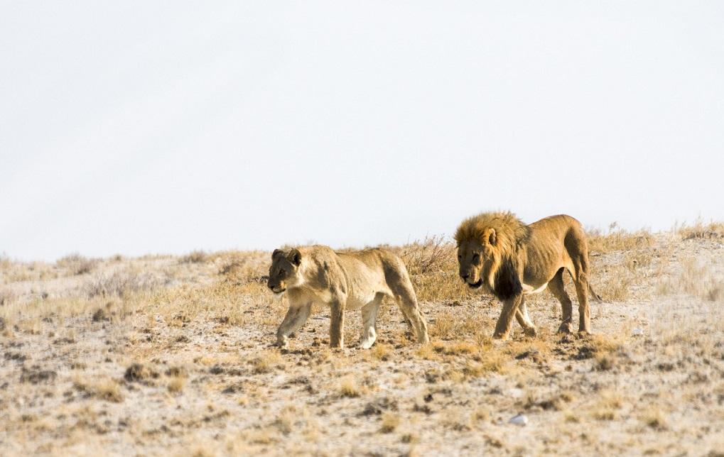 Namibialiebe Etosha Löwen
