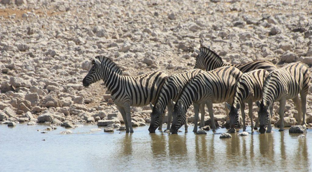 Namibialiebe - Tipps für deinen Besuch im Etosha Nationalpark Zebras