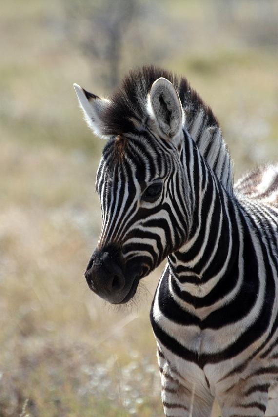 Zebra Namibia Tierfoto