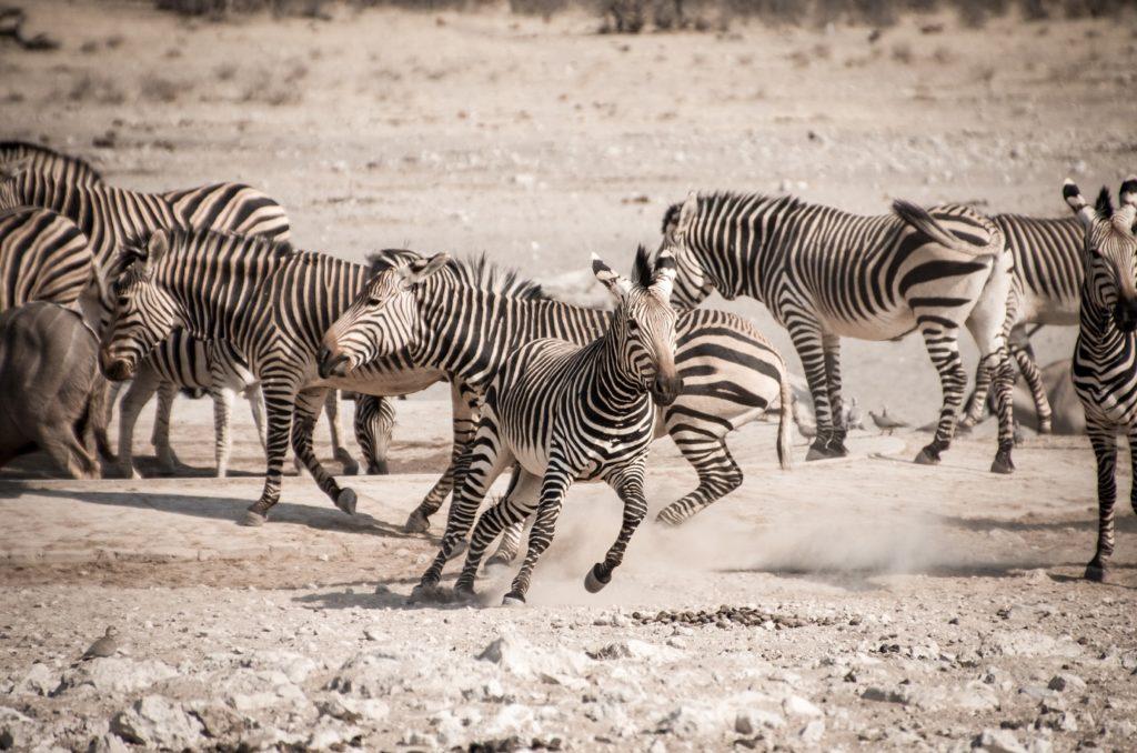 Zebra Namibialiebe