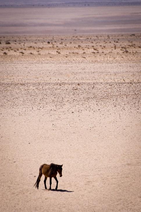 Wildpferde in Namibia
