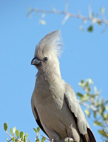 Lärmvogel Namibia