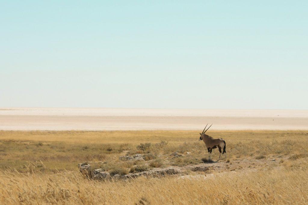 Oryx Namibialiebe Namibia Tierfoto
