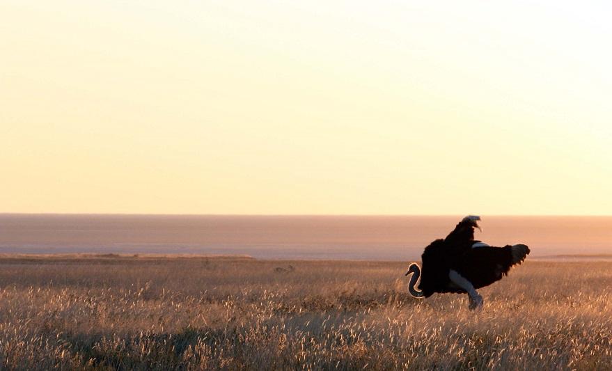 Namibialiebe - Strauß in der Abendsonne