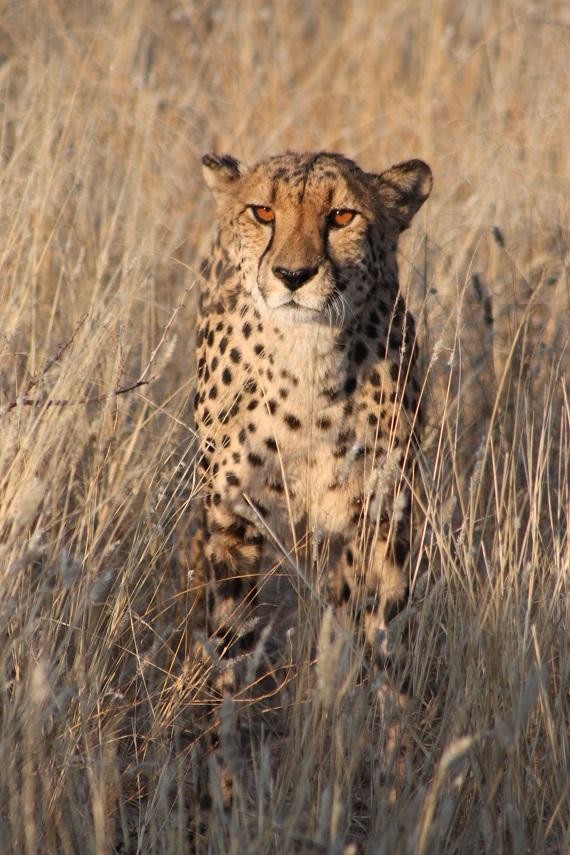 Gepard Namibialiebe Namibia Tierfoto