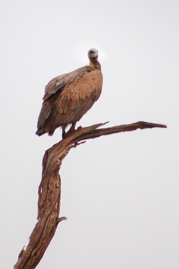 Geier Namibia