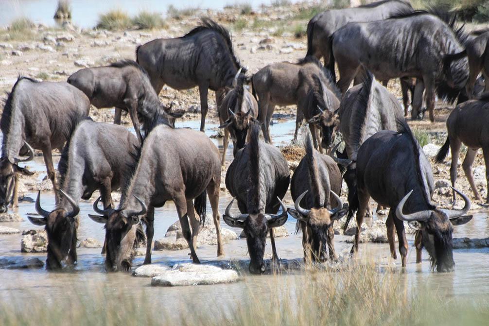 Streifengnu Namibia