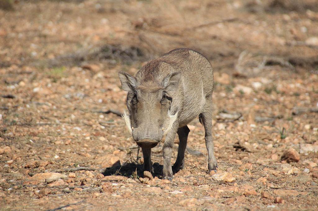 Warzenschwein Ugly Five