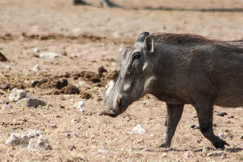 Warzenschwein Namibia