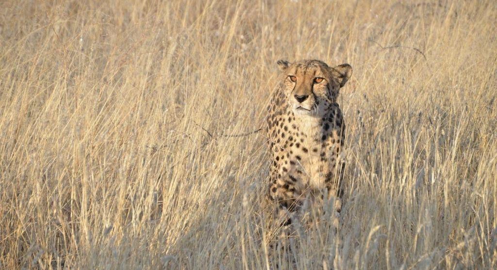Gepard Etosha Toko Lodge