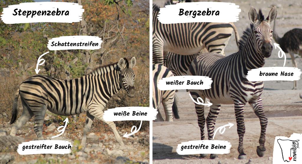 Unterschied Bergzebra und Steppenzebra