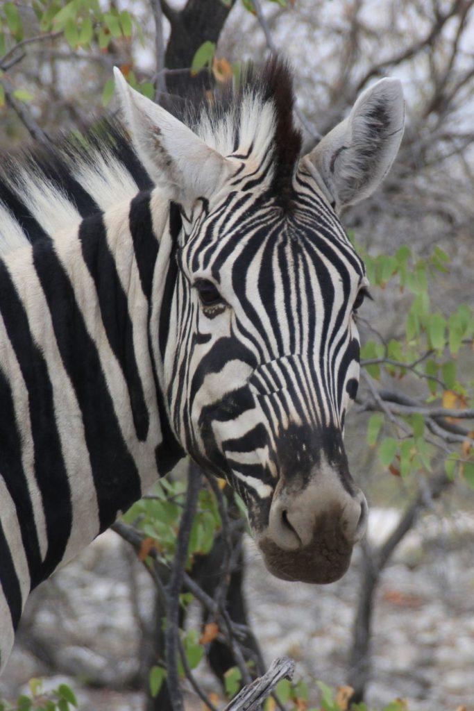 Zebra mit Biss