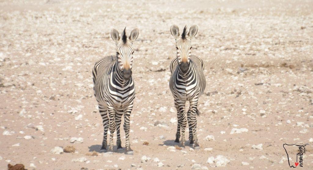 Hartmann Zebra Namibia