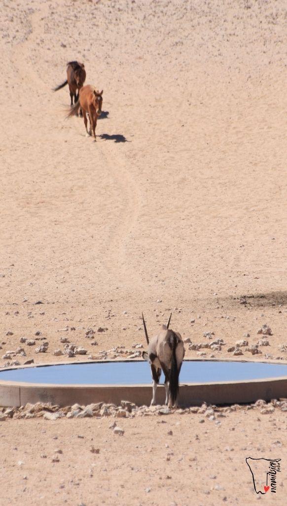 Kubuk Wildpferde